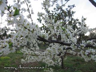 Giovinazzo - Mandorli in fiore
